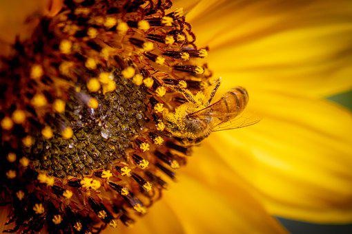 Honey Bee, Sunflower, Bee, Bloom, Insect
