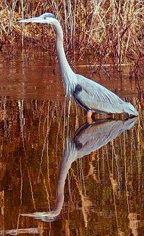 Heron, Bird, Reflection, Brown, Wildlife