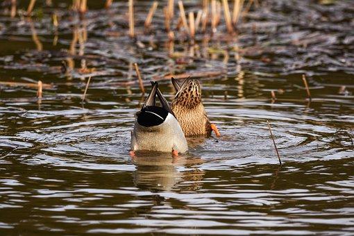 Animal, Pond, Water, Waterweed, Bird, Wild Birds, Duck