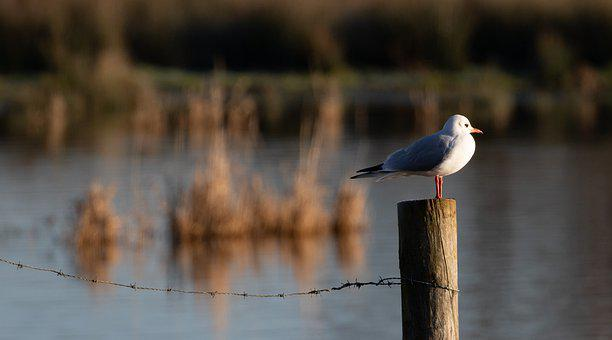 Bird On A Post, Bird, Avian, Perch, Sea Gull, Wire