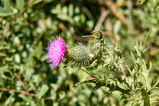 Thistle, Blossom, Bloom, Pink