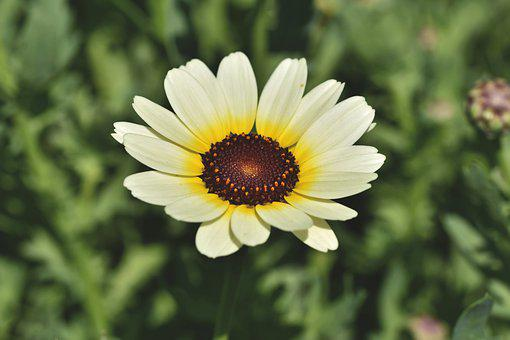 African Daisy, Geese Flower, Blossom