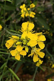 Mustard, Plant, Yellow, Blossom, Macro, Close Agrup