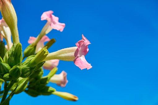 Tobacco, Plant, Blossom, Bloom