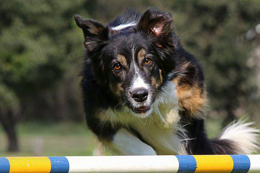 Dog, Jumping, Show, Competition, Canine, Happy