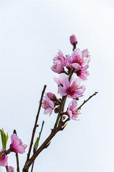Cherry Blossoms, Heart Flowers Blossoming Open, Pink