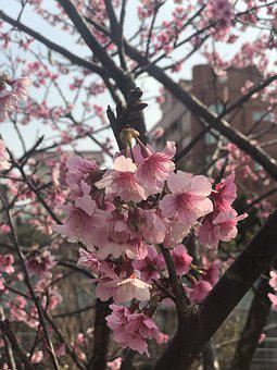Cherry, Blossoms, Pink, Nature, Blossom