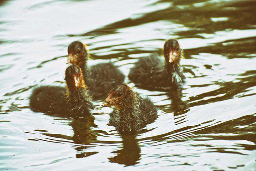 Coots, Chicks, Waters, Nature, Waterfowl