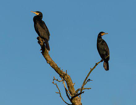 Cormorant, Roosting, Silhouette