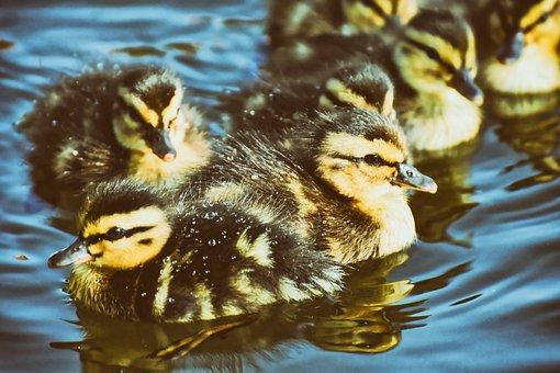 Mallard, Ducklings, Duck, Chicks, Cute