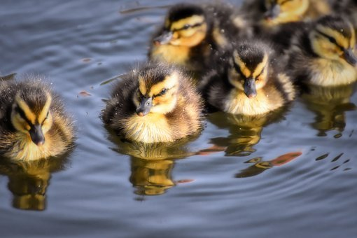 Mallard, Ducklings, Duck, Chicks, Cute, Small, Little