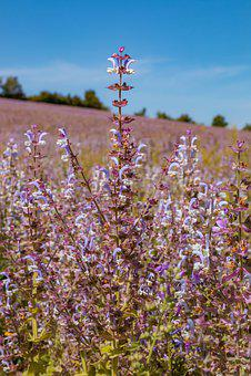 Field, Flower Meadow, Lavender, Meadow