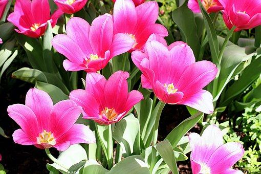 Tulips, Bright, Pink, Red, Flower, Petals, Garden
