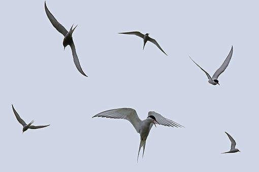 Arctic Terns, Flying, Tern, Flight, Sky, Silhouette