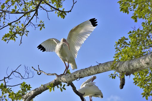 Bird, Big, White, Wings, Spread, Tree, Ibis, Male