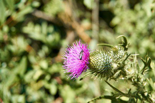 Thistle, Blossom, Bloom, Insect, Pink