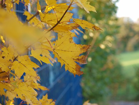 Maple, Leaves, Branches, Yellow, Autumn
