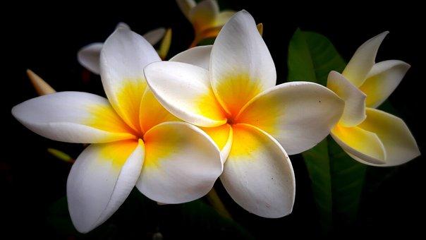 Frangipani, Flower, Blossom, Bloom, Spring, Nature