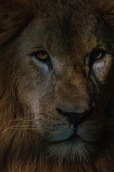 Lion, Mammal, Animal, Wildlife, Predator, Cat, Nature
