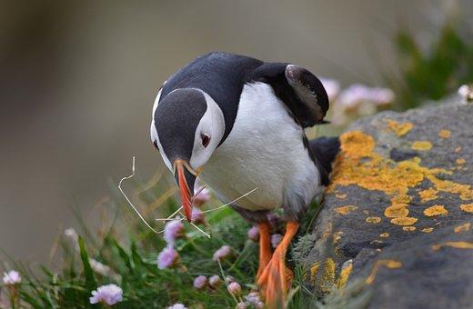 Puffin, Bird, Nature, Animal, Colorful, Nesting, Orange