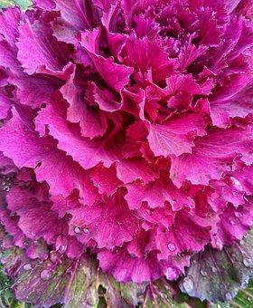 Ornamental Cabbage, Fuchsia, Garden