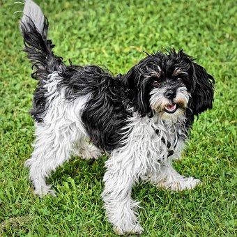 Dog, Pet, Cheeky, Cute, Wuschelig