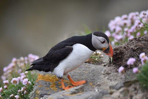 Puffin, Bird, Nature, Wildlife, Cliff