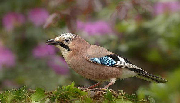 Animal, Bird, Jay, Garullus Glandarius, Foraging, Scheu