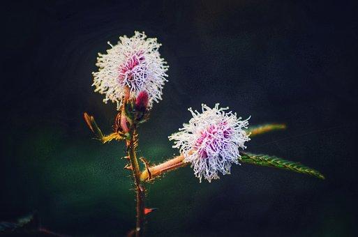 Shama, Plant, Flower, Sensitive, White