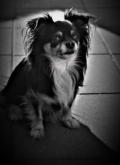 Chihuahua, Background, Black And White, Dog, Small