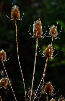 Thistle, Card, Infructescence, Dry