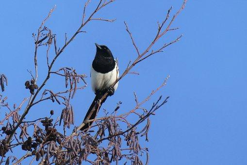 Magpie, Tree, Winter, Bird, Sit, Nature