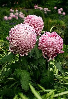 Brazilian Plume, Flower, Pink, Exotic, Tropical, Garden