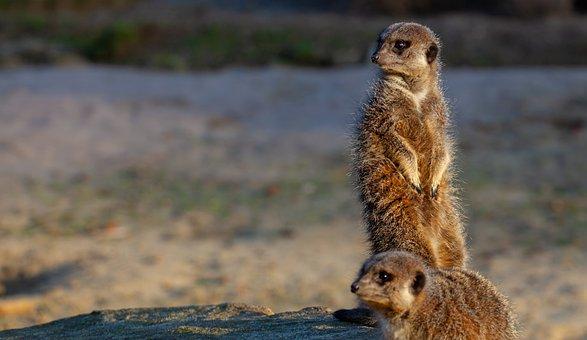 Meerkat, Watching, Close Up, Watch
