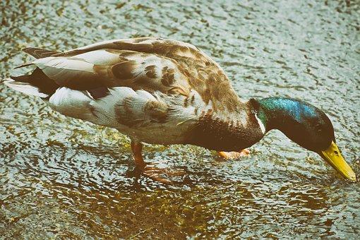 Drake, Mallard, Water Bird, Bird, Bill, Duck Bird