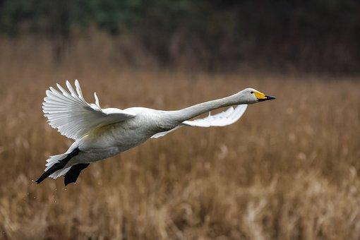 Animal, Pond, Waterweed, Bird, Wild Birds, Swan