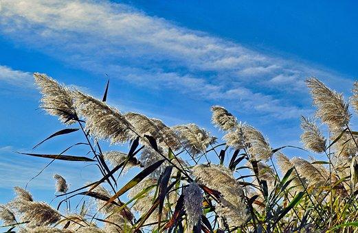 Cattails, Marsh, Wetlands, Reeds