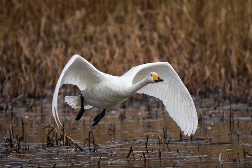 Animal, Pond, Water, Waterweed, Bird, Wild Birds, Swan