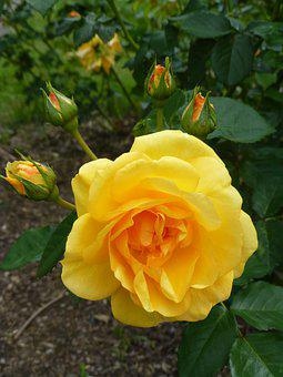 Yellow Rose, Flower, Garden, Petal