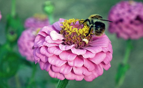 Zinnia, Flower, Bumblebee, Insect