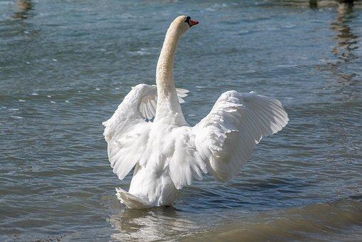 Swan, Bird, Water, Animal, Nature