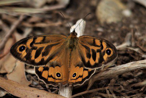 Butterfly, Orange, Australia, Nature, Insect, Colorful