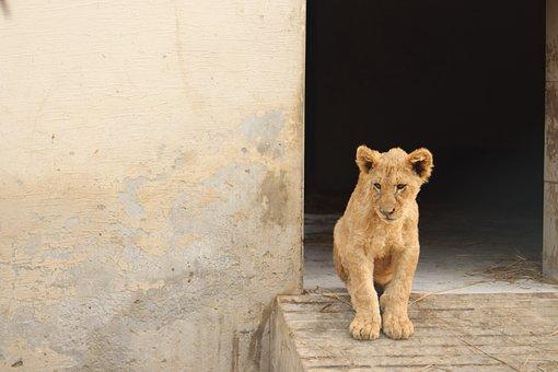 Loin, Baby Loin, Wild Animal, Animal, Lion, Wild