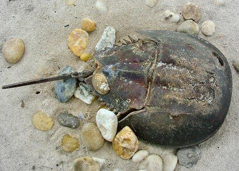 Horseshoe, Crab, Beach, Ocean, Marine, Crustacean, Sand