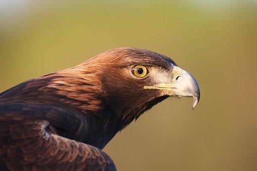 Golden Eagle, Bird, Raptor, Eagle, Predator, Bill