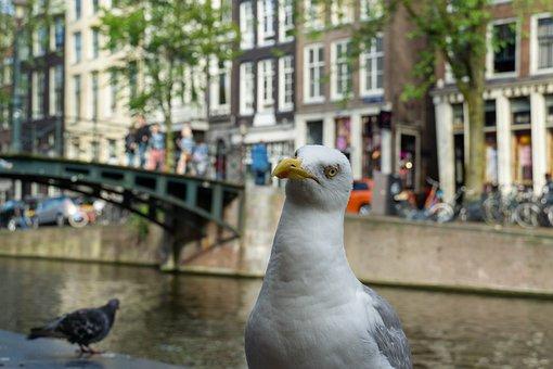 Amsterdam, Canal, Gull, City, Bird