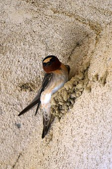 Swallow, Cliff Swallow, Bird, Nest, Mud Nest, Perched