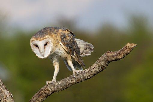 Barn Owl, Owl, Bird, Animal, Nocturnal, Nature