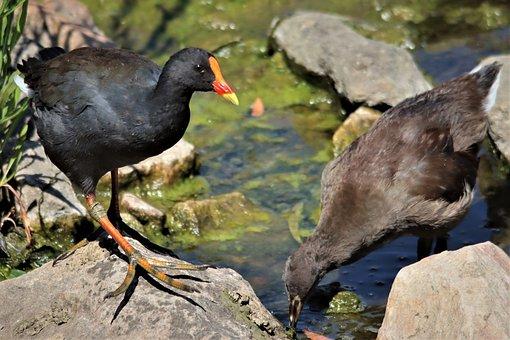 Black, Dusky Moorhen, Red Head, Water Fowl, Water, Bird