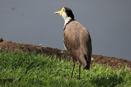 Masked, Lapwing, Water, Black, Crown, White, Chest